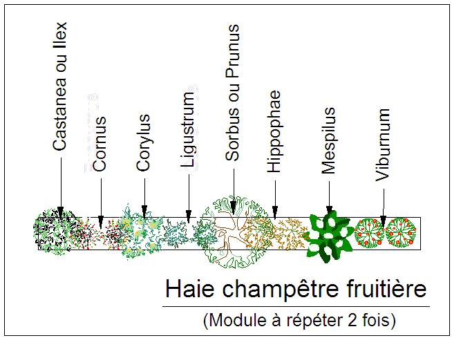 Arbustes haie - Haie champetre persistant ...