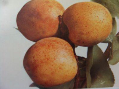 Achat de l 39 abricotier abricot acheter au meilleur prix for Taille des abricotiers bergeron