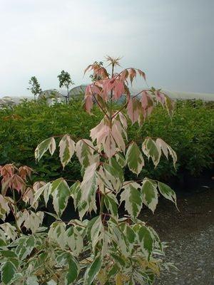 Acer negundo flamingo erable feuille de fr ne panach - Petit arbre decoratif ...