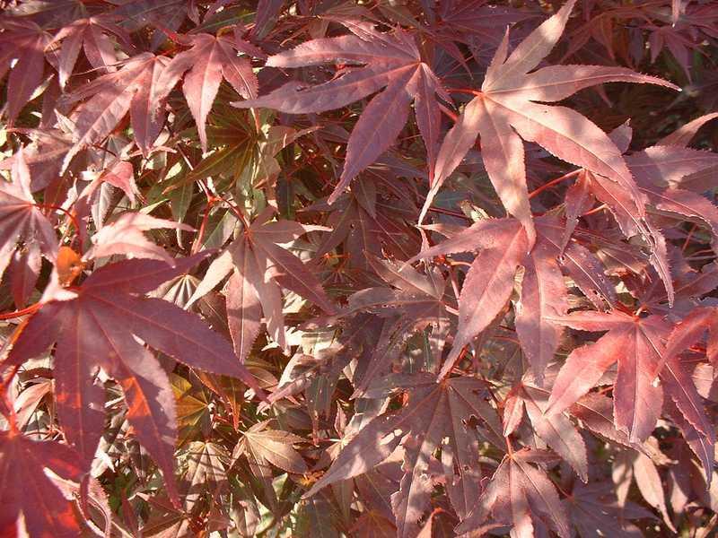 acer palmatum atropurpureum erable japonais pourpre arbuste. Black Bedroom Furniture Sets. Home Design Ideas