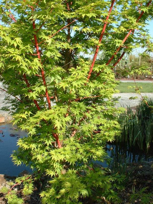 acer palmatum senkaki erable japonais arbuste. Black Bedroom Furniture Sets. Home Design Ideas