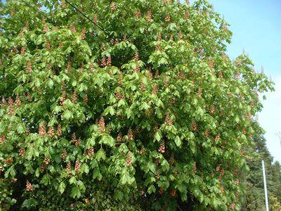 aesculus hippocastanum marronnier d 39 inde arbre. Black Bedroom Furniture Sets. Home Design Ideas