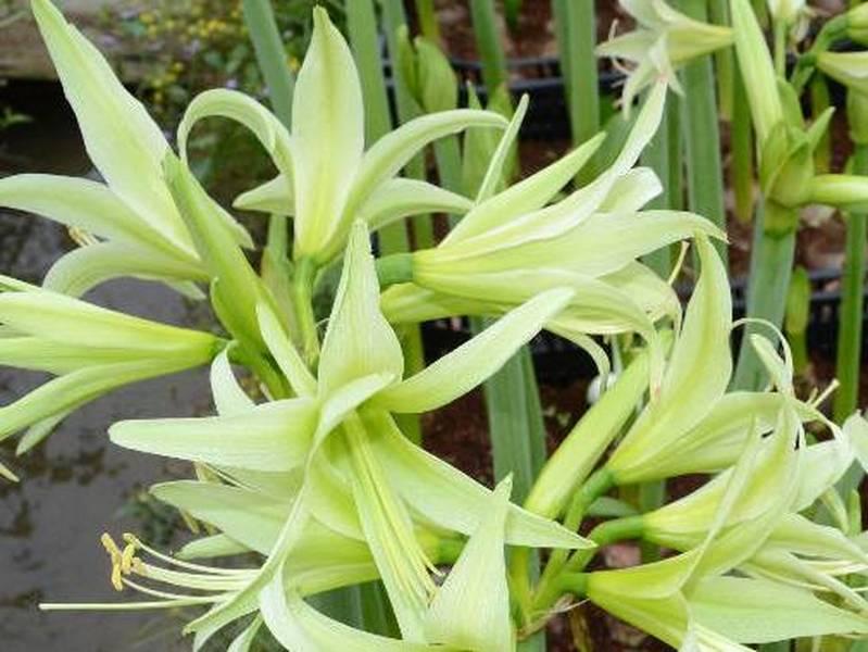 Amaryllis evergreen amaryllis bulbe for Arrosage amaryllis