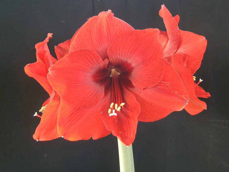 Amaryllis red lion cal40 amaryllis rouge bulbe for Planter bulbe amaryllis