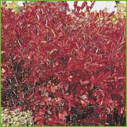 Aronia-arbutifolia-`Brillia