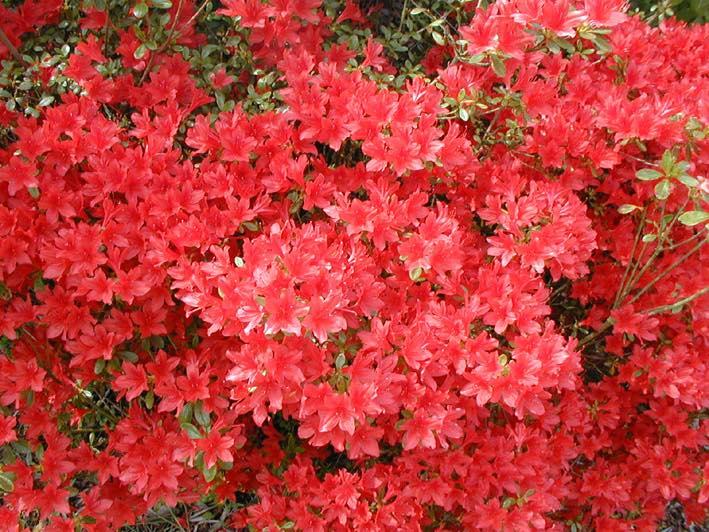 Azalea japonica kazuko azal e japonaise arbuste - Arbuste japonais persistant ...