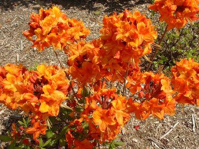 Rhododendron azalea conseils de culture - Rhododendron ne fleurit pas ...