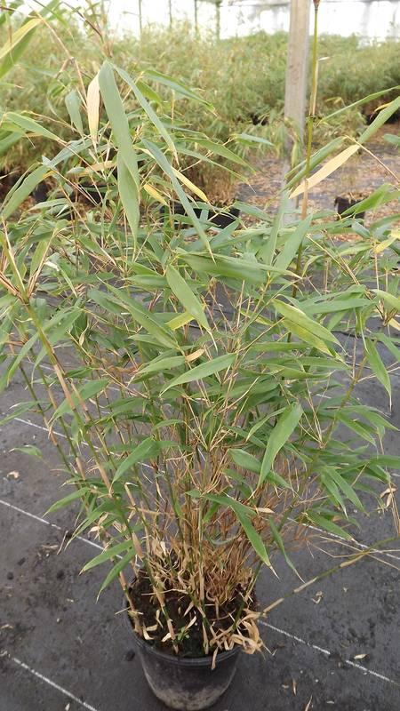 Achat bambou en ligne maison design for Achat plante en ligne