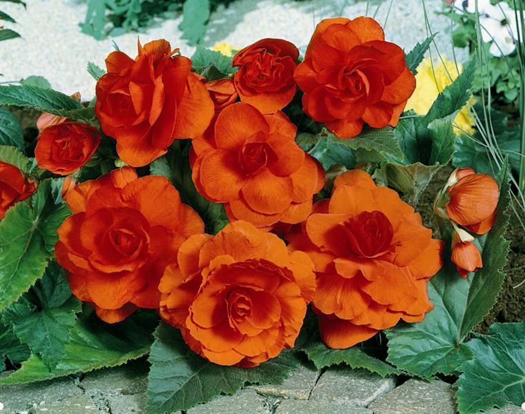 begonia tuberosa double orange b gonia bulbe. Black Bedroom Furniture Sets. Home Design Ideas