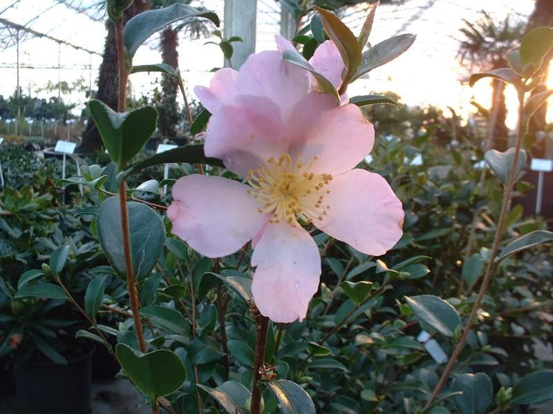 camellia sasanqua maiden 39 s bush camelia d 39 automne terre de bruy re. Black Bedroom Furniture Sets. Home Design Ideas