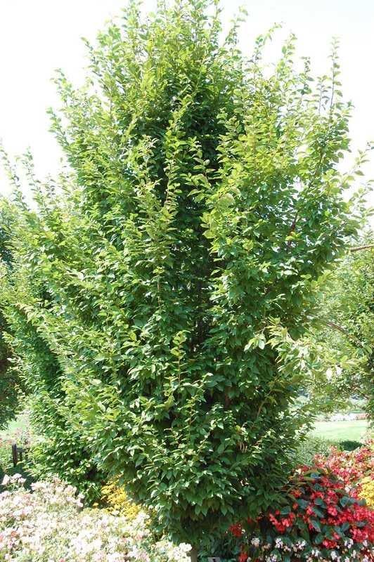 carpinus betulus frans fontaine charme colonnaire arbre. Black Bedroom Furniture Sets. Home Design Ideas