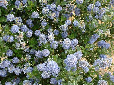 Arbuste ceanothe