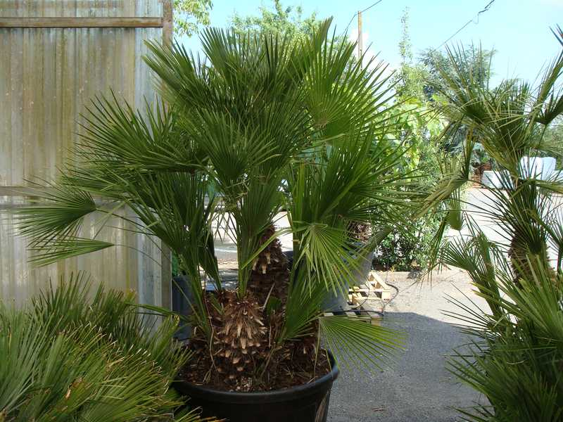 chamaerops humilis palmier nain petit arbre. Black Bedroom Furniture Sets. Home Design Ideas