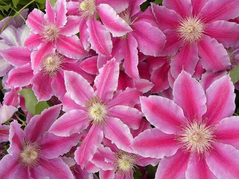 Clematis docteur ruppel cl matite plante grimpante for Plante 7 folioles