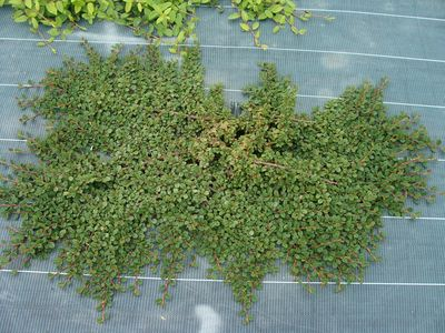COTONEASTER procumbens AT