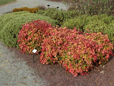 petit arbuste pour votre jardin p pini re en ligne. Black Bedroom Furniture Sets. Home Design Ideas