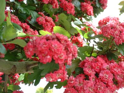 CRATAEGUS Paul Scarlet