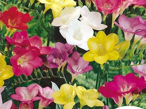 les bulbes de printemps plantez d s l 39 automne ceux qui fleuriront votre printemps. Black Bedroom Furniture Sets. Home Design Ideas