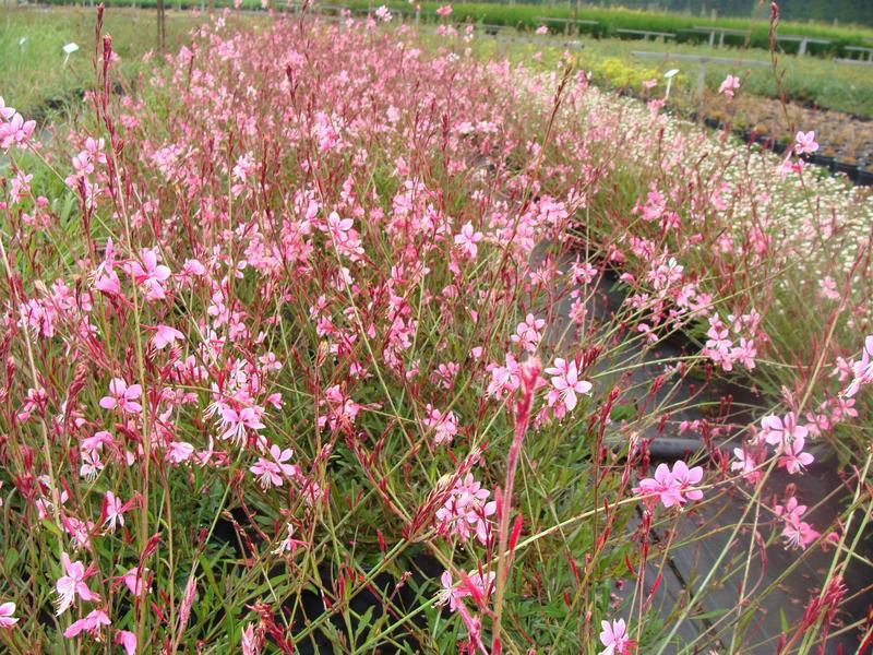 Gaura lindheimeri red color gaura vivace for Vivace floraison hivernale