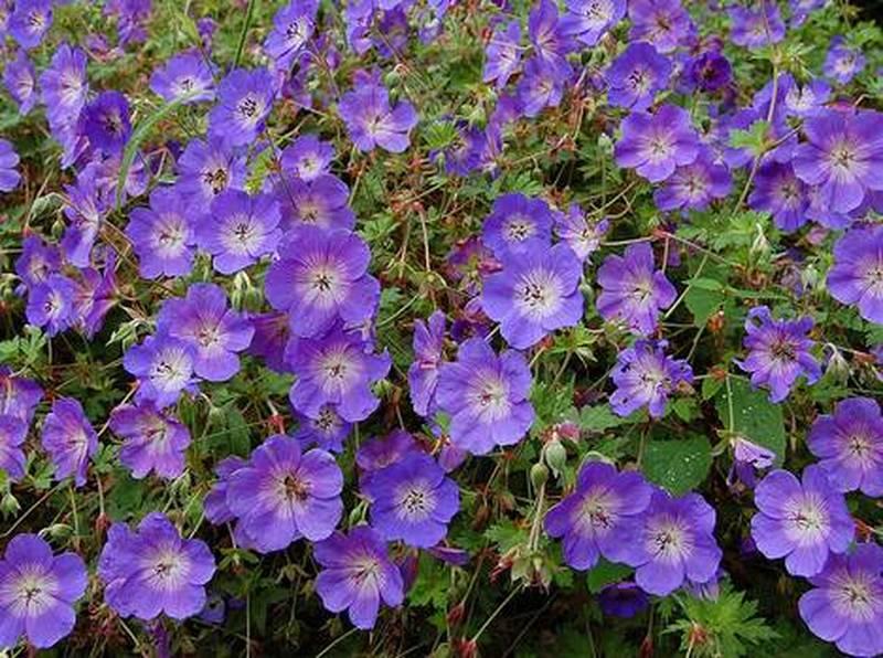 Geranium rozanne g ranium bleu vivace - Couvre sol vivace ...