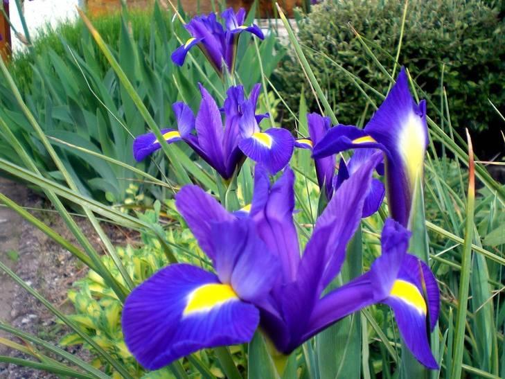 iris hollandica bleu lot de 15 iris de hollande bulbe. Black Bedroom Furniture Sets. Home Design Ideas