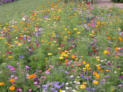 Les prairies fleuries - Fleur de jachere ...