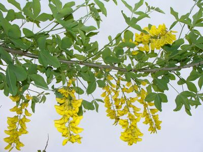 Arbre fleur jaune grappe