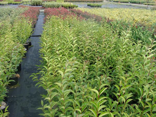 LIGUSTRUM japonica -lot de 15 plantes