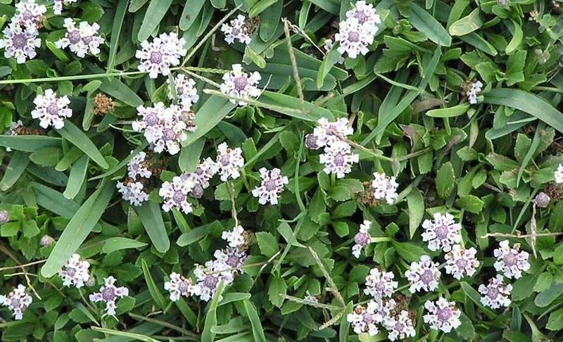 Lippia nodiflora verveine nodiflore vivace - Bulbes a floraison automnale ...