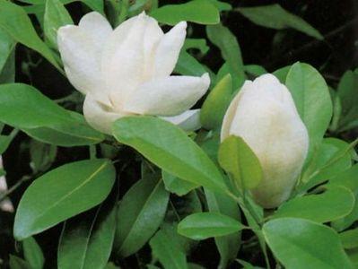 Magnolia grandiflora 39 fran ois treyves 39 magnolia persistant terre d - Magnolia persistant petite taille ...
