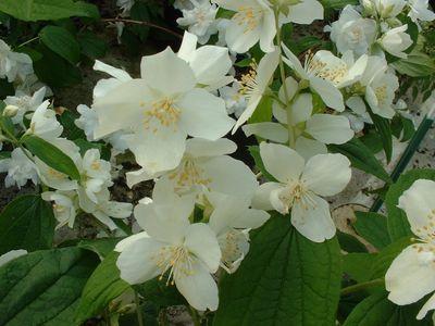 Arbustes philadelphus for Philadelphus coronarius
