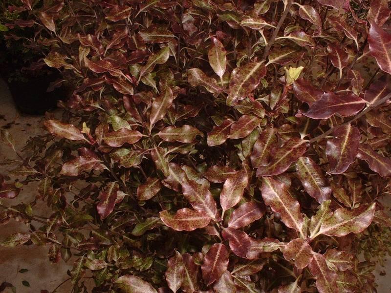 tenuifolium purpureum pittosporum à petite feuille pourpre