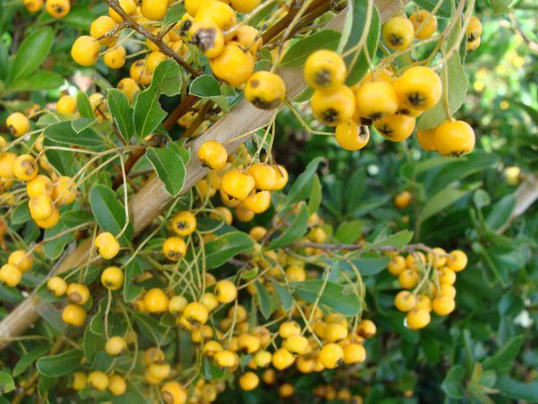 Achat du pyracantha ou buisson ardent acheter au meilleur prix de vente - Arbuste a boule rouge ...