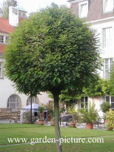 Les arbres de petit d veloppement - Arbres d ornement a feuillage persistant ...