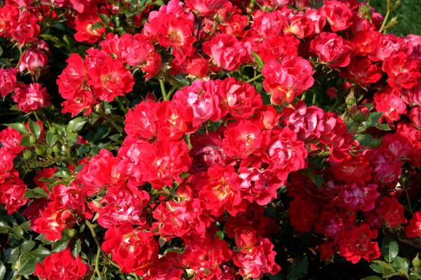 Achat du rosier acheter au meilleur prix de vente for Fleurs achat en ligne