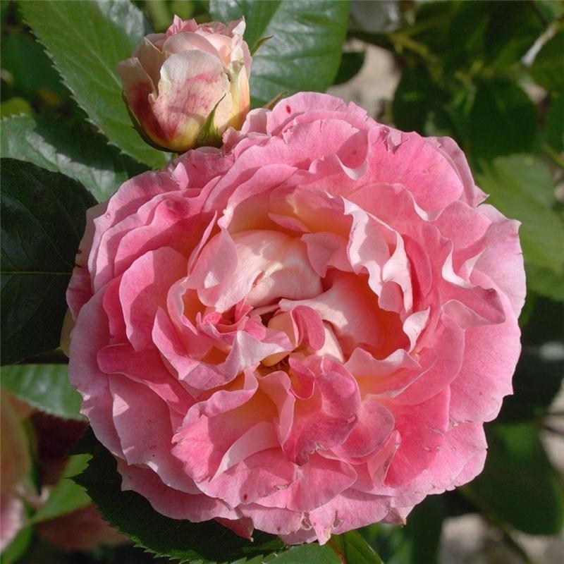 rosier grimpant petite fleur 39 c sar 39 rosier grimpant petite fleur 39 c sar 39 rosier. Black Bedroom Furniture Sets. Home Design Ideas