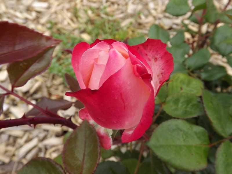 Cultiver un rosier en pot - Quand planter un rosier ...