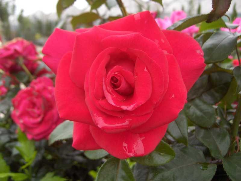 rosier grimpant gde fleur 39 le grand huit 39 rosier grimpant 39 le grand huit 39 rosier. Black Bedroom Furniture Sets. Home Design Ideas