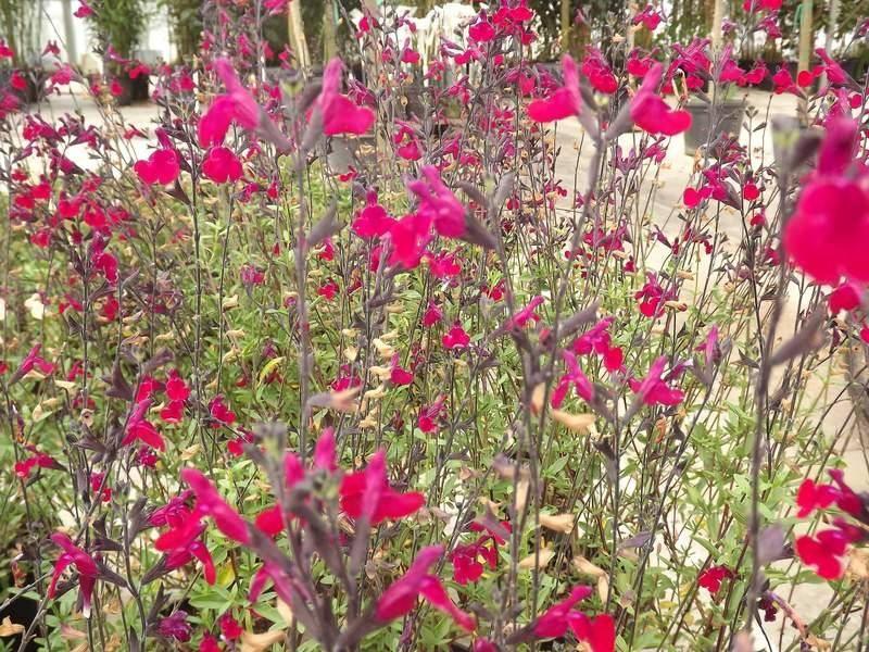 Achat de la sauge officinale acheter au meilleur prix de vente - Fleurs vivaces longue floraison ...