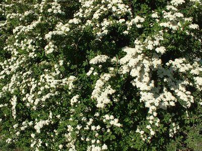 Arbustes spiree - Arbuste petites fleurs blanches ...