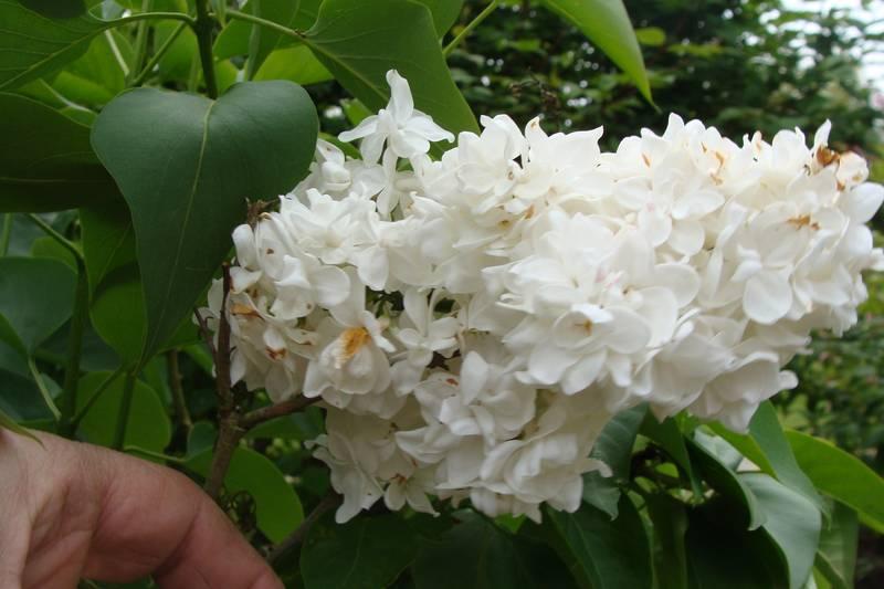 syringa vulgaris 39 mme lemoine 39 lilas arbuste. Black Bedroom Furniture Sets. Home Design Ideas