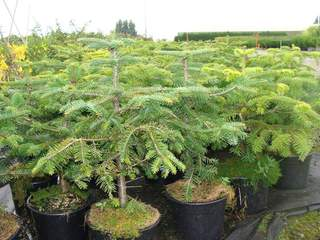 ABIES nordmaniana AT