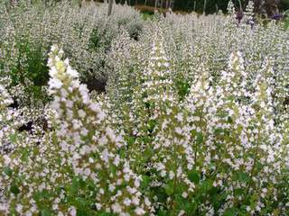 CALAMINTHA nepeta at