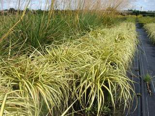 Carex 'Evergold' at