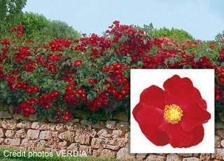 Rosier grimpant petite fleur 39 new dawn 39 rosier grimpant for Rosier grimpant vesuvia
