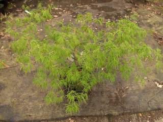 acer palmatum dissectum erable japonais arbuste. Black Bedroom Furniture Sets. Home Design Ideas