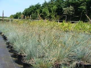 Festuca 'Blue Select' at