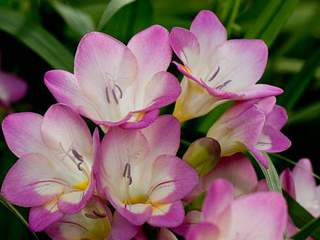 freesia rose
