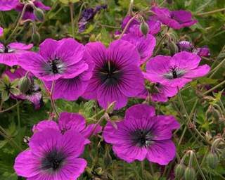 GERANIUM 'dragon heart' int