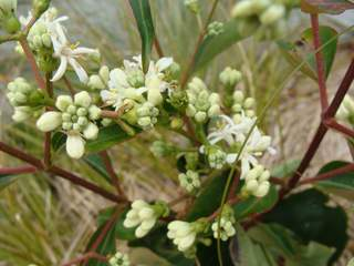 Heptacodium miconoides at